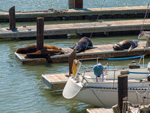 The Sea Lions of Pier 39 Royalty Free Stock Photography