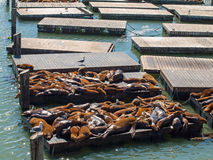 The Sea Lions of Pier 39 Stock Photography