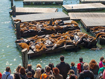 The Sea Lions of Pier 39 Royalty Free Stock Photo