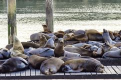 Sea lions, Pier 39, San Francisco, California. Young cute sea lions lying on a wooden platform on Pier 39 on Fisherman's Wharf in San Francisco, California Royalty Free Stock Photography