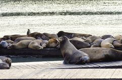 Sea lions, Pier 39, San Francisco, California Stock Image