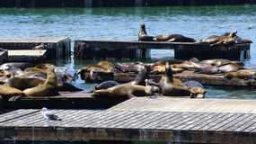 Sea lions, Pier 39, San Francisco, California. Young cute sea lions lying on a wooden platform on Pier 39 on Fisherman`s Wharf in San Francisco, California Stock Images