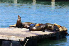 Sea lions, Pier 39, San Francisco, California. Young cute sea lions lying on a wooden platform on Pier 39 on Fisherman`s Wharf in San Francisco, California Royalty Free Stock Image