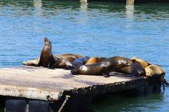 Sea lions, Pier 39, San Francisco, California Royalty Free Stock Image