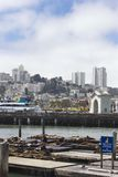 Sea Lions on Pier 39, with San Francisco cityscape Stock Images