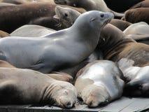 Sea lions at Pier 39 San Francisco. Lots of sea lions resting at Pier 39 San Francisco, California USA Stock Image