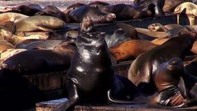 The sea lions at Pier 39 San Francisco - SAN FRANCISCO stock video