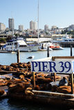Sea lions at Pier 39, San Francisco, USA Royalty Free Stock Images