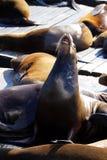 Sea lions at Pier 39, San Francisco, USA Royalty Free Stock Photos