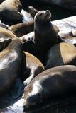 Sea lions at Pier 39, San Francisco, USA Royalty Free Stock Images