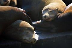 Sea lions at Pier 39, San Francisco, USA Stock Photography