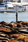 Sea lions at Pier 39, San Francisco, USA Royalty Free Stock Image
