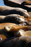 Sea lions at Pier 39, San Francisco, USA Royalty Free Stock Image