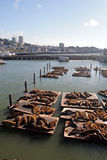 Sea lions at Pier 39, San Francisco, USA Royalty Free Stock Photo