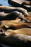 Sea lions at Pier 39, San Francisco, USA Stock Images