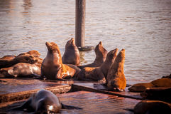 Sea lions at Pier 39, San Francisco, USA. Crowd of Sea lions at pier 39 Stock Images