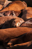 Sea lions at Pier 39, San Francisco, USA. Crowd of Sea lions at pier 39 Royalty Free Stock Photo