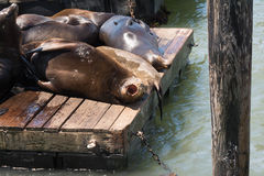The sea lions on the pier. A view of the sea lions on the pier in San Francisco Royalty Free Stock Photos