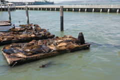 The sea lions on the piers in San Francisco Stock Photography