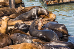 The sea lions on the piers in San Francisco Stock Images
