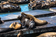Sea lions on the platform in San Francisco. View of a lot of sea lions on the platform Royalty Free Stock Photos