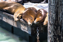Sea lions on the platform in San Francisco Royalty Free Stock Images