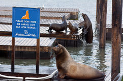Sea lions play in Pier 39 at Fisherman's Wharf Stock Image