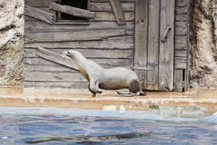 Sea Lions play Royalty Free Stock Images