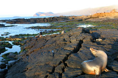 Sea Lions Playing Royalty Free Stock Images