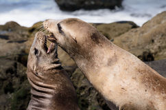 Sea Lions Playing on a Southern California Beach. Two playful sea lions on a southern California beach Royalty Free Stock Photos