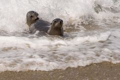 Sea Lions Playing in the Surf royalty free stock image
