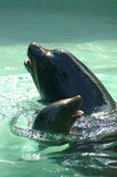 Sea lions in pool Stock Images