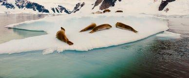 The Sea Lion sunbathing on an iceberg floating in the ocean in Antarctica.