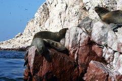 Sea lions portrait Stock Image