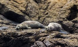 Sea Lions in relax. Two sea lions are relaxing at Fort Bragg - California stock photography