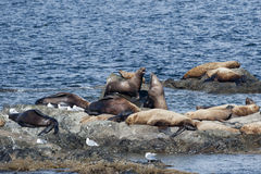 Sea Lions relaxing Stock Photo