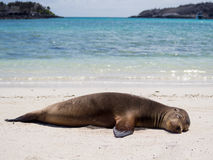 Sea Lions relaxing in the Galapagos Islands Royalty Free Stock Photo