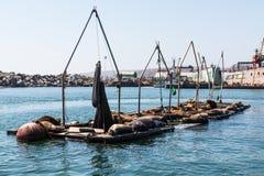 Sea Lions Rest on Docks in Port of Ensenada. Sea lions rest on docks in the Port of Ensenada Stock Photo
