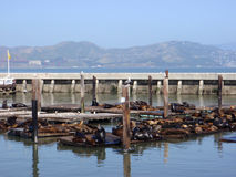 Sea Lions rest near Pier 39 in San Francisco Stock Images