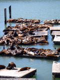 Sea Lions rest near Pier 39 in San Francisco Royalty Free Stock Images