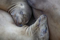 Sea Lions in Relaxed Repose. These sea lions rested on the rocks by La Jolla Cove royalty free stock photos