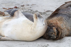 Sea lions resting Stock Images