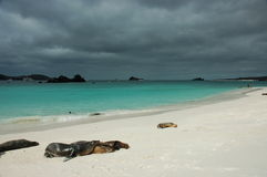Sea lions resting on the beach. Galapagos. Stock Photo