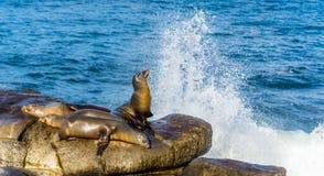 Sea Lions resting on cliffs, near La Jolla Beach, San Diego, Cal royalty free stock images