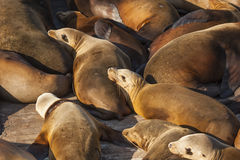 Sea lions resting on dock Royalty Free Stock Photo