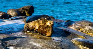 Sea lions resting on his mother, near La Jolla Beach. royalty free stock images