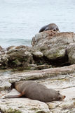 Sea lions resting on New Zealands shore Royalty Free Stock Photos