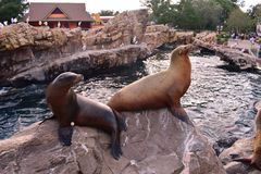 Sea lions resting on rock at Marine Theme Park in International Drive area. royalty free stock image