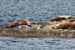 Sea lions resting on a rock Stock Photo