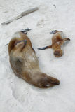 Sea Lions resting on the sand Stock Photography